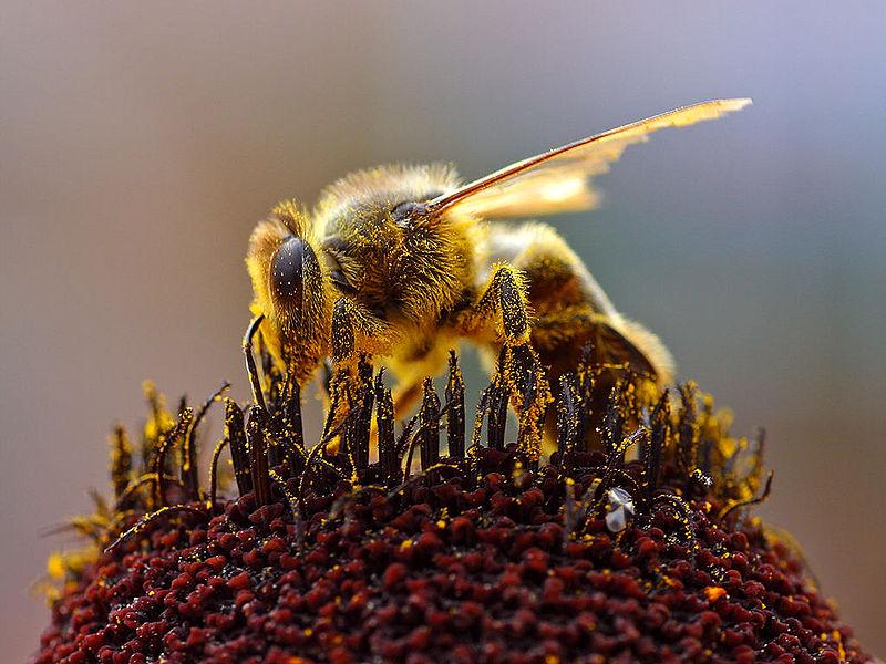 Pszczoła na roślinie miododajnej