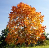 Rośliny miododajne drzewa