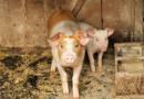 Kanibalizm świń