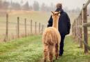 Camelidynamics – skuteczny sposób pracy z alpakami