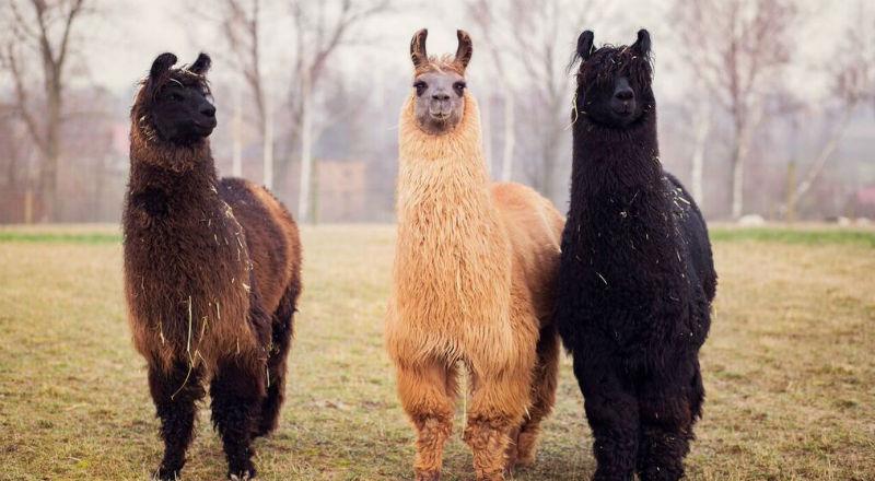 Camelidynamis - praca z alpakami